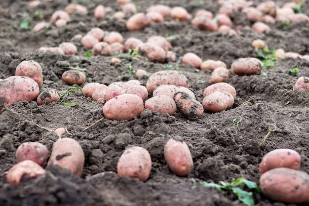 Gros tubercules de pommes de terre au sol. récolte de pommes de terre