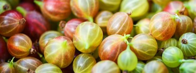 Groseille à maquereau. gros plan de groseilles à maquereau. beaucoup de groseilles rouges et vertes mûres. récolte.