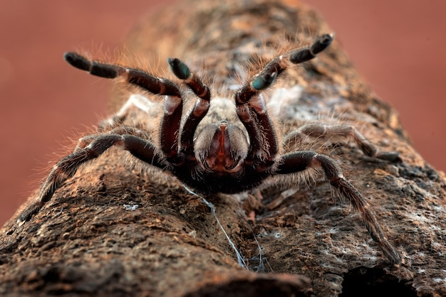 Grosse araignée effrayante prête à attaquer