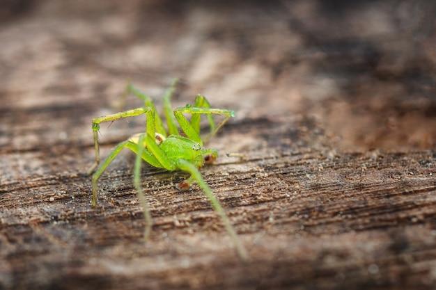 Une grosse araignée verte sur un fond en bois, flou