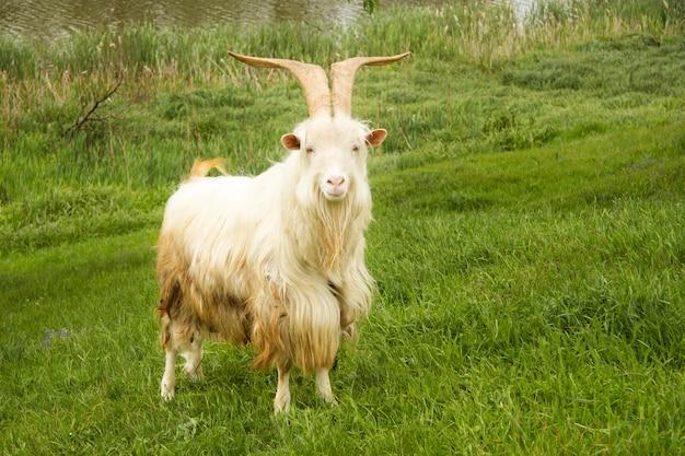 Une grosse chèvre blanche au poil long et aux grandes cornes se promène dans le pré. près du lac