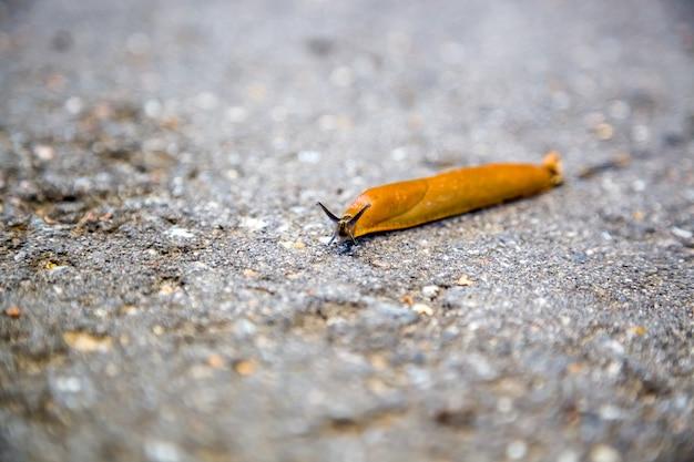 Une grosse limace rampant sur le sol un escargot sans coquille