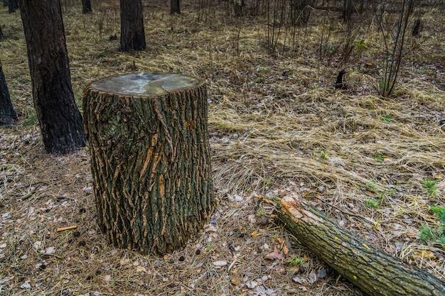 Grosse souche d'arbre