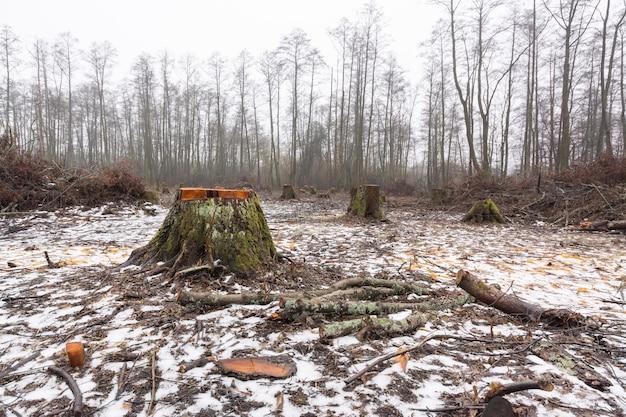 Grosse souche d'un aulne en zone forestière coupée