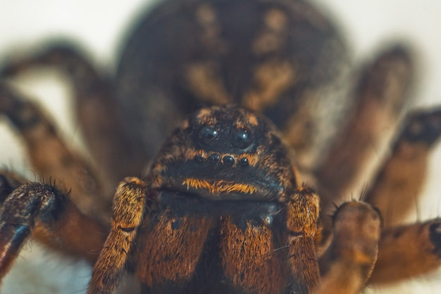 Une grosse tarentule araignée rebondissant laid est assis sur le sol sur blanc