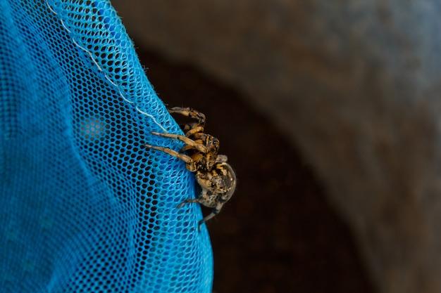 Une grosse tarentule araignée sauteuse laide est assise sur un filet.