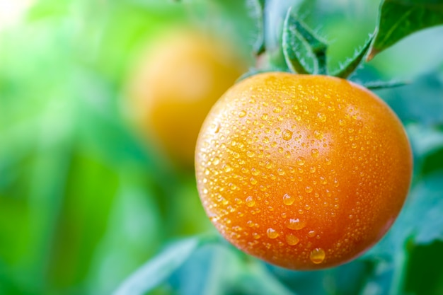 Grosse tomate et gouttes d'eau dans les fermes biologiques avec la lumière du soleil du matin