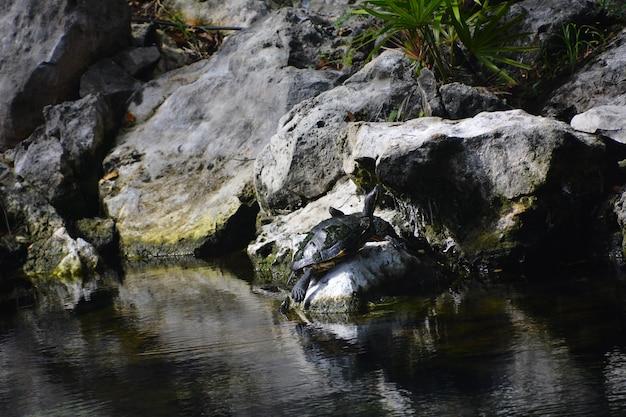 Grosse tortue dans le cénote de quintana roo, mexique