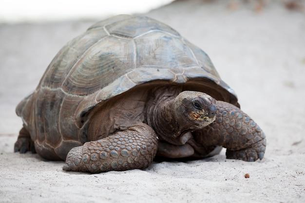 Une grosse tortue sur la plage aux seychelles
