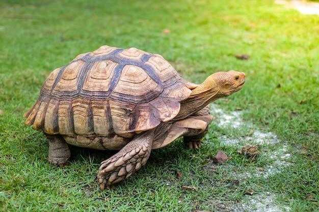 Une grosse tortue sur le terrain vert.