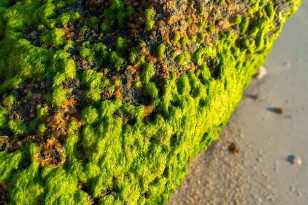 De grosses pierres recouvertes d'algues vertes sur une plage de sable près de l'océan. la nature des tropiques.