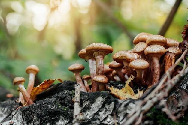 Un groupe d'agarics de miel dans la forêt. champignons au miel dans l'herbe