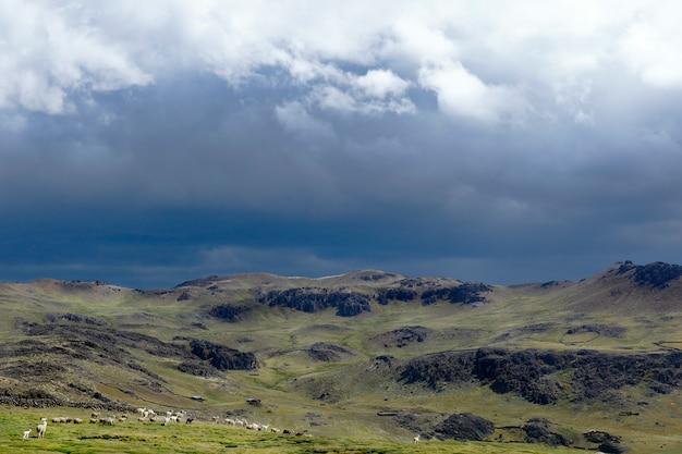 Groupe d'alpagas (vicugna pacos) marchant sur un imposant paysage andin où la tempête approche