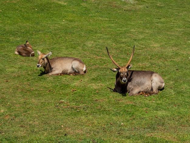 Groupe d'antilopes gemsbok reposant dans un champ
