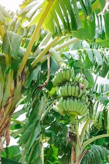 Groupe de bananes vertes non mûres qui sont rassemblées sur la même branche.