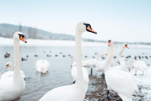 Groupe de beaux cygnes blancs au bord de la rivière en journée d'hiver.