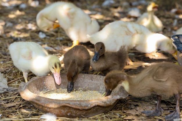 Groupe bébé canard et bébé oie est manger de la nourriture dans le jardin de la ferme en thaïlande