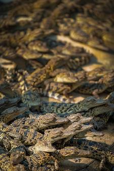 Groupe bébé de crocodile de la faune avec un moment de près medan thaïlande