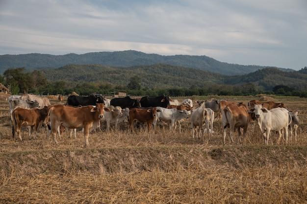 Un groupe de bovins dans la rizière sèche, province de nan, thaïlande