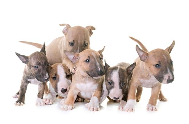 Groupe de bull terrier miniature
