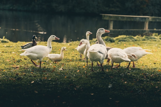 Un groupe de canards blancs debout près du lac