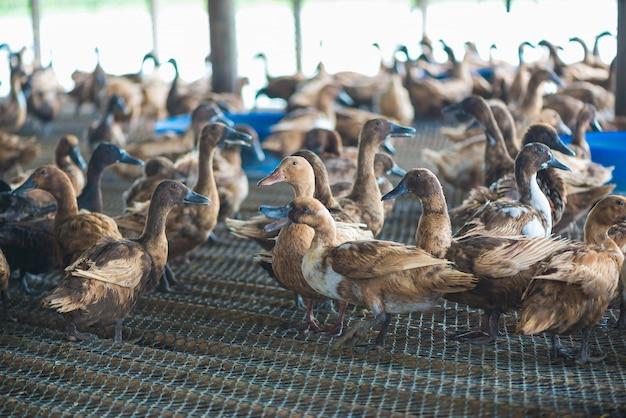 Groupe de canards dans une ferme, agriculture traditionnelle en thaïlande.