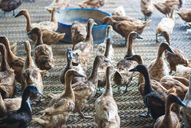 Groupe de canards dans une ferme