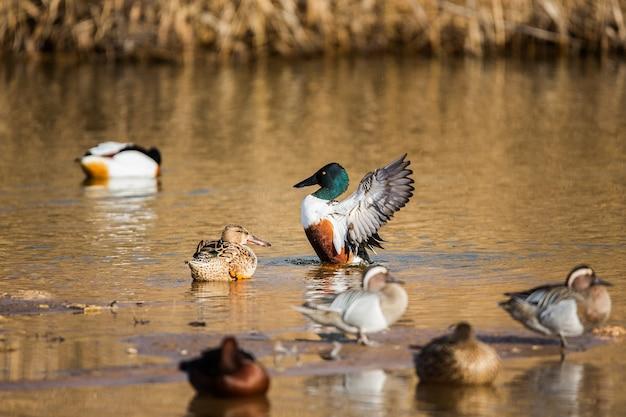 Groupe de canards dans le parc national des tablas de daimiel, espagne