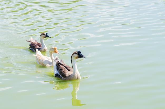 Un groupe de canards flottant sur l'eau