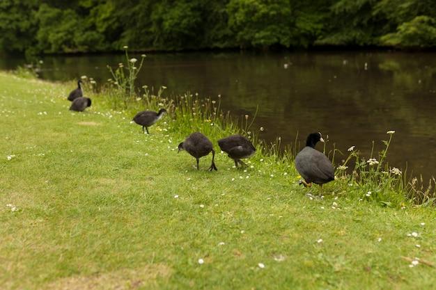 Groupe de canards sur l'herbe et un canard dans l'eau