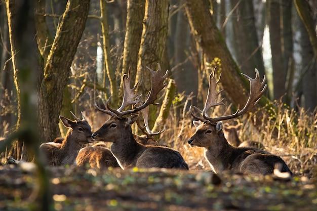 Groupe de cerfs en jachère allongé sur le sol au soleil