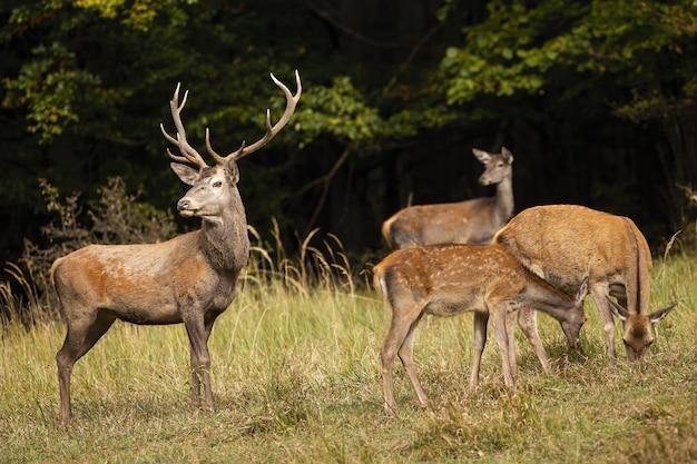 Groupe de cerfs rouges paissant sur la clairière en automne nature