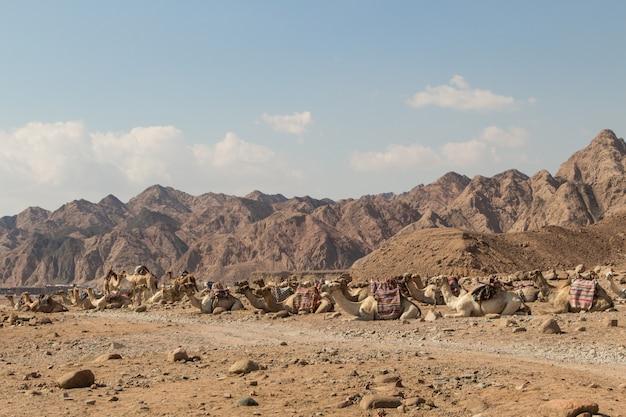 Un groupe de chameaux se reposant dans un désert rocheux. egypte, péninsule du sinaï.
