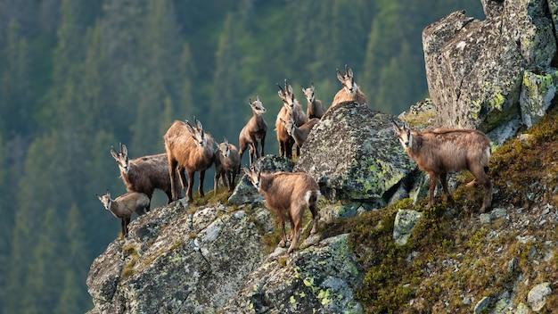 Groupe de chamois tatras grimpant sur des rochers en été