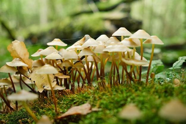 Groupe de champignons vénéneux sur tronc d'arbre moussu dans la forêt d'automne champignons venimeux dangereux