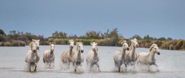 Un groupe de chevaux blancs de camargue courant dans l'eau