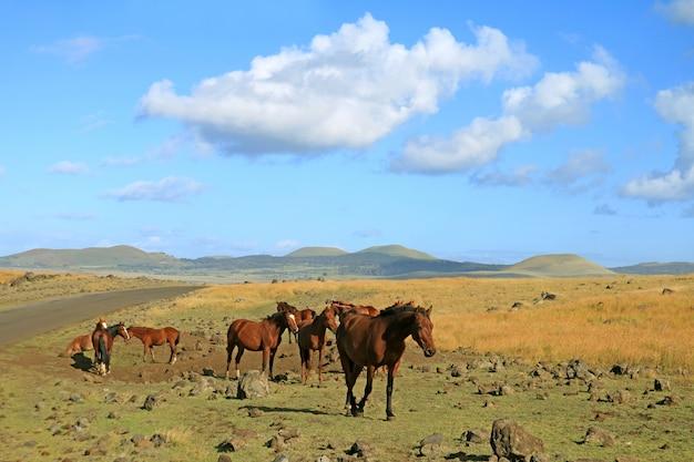 Groupe de chevaux sauvages paissant au bord de la route sur l'île de pâques, chili, amérique du sud