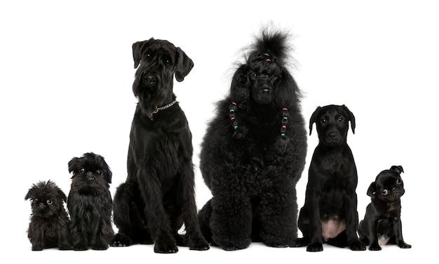 Groupe de chiens, caniche, carlin, griffon bruxellois et une race mixte