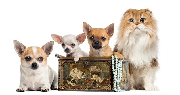 Groupe de chihuahuas dans une boîte vintage avec pli highland