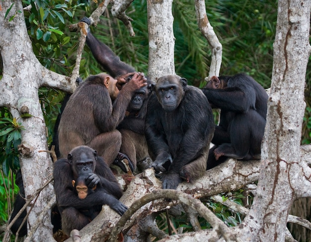 Groupe de chimpanzés sont assis sur des branches de mangrove