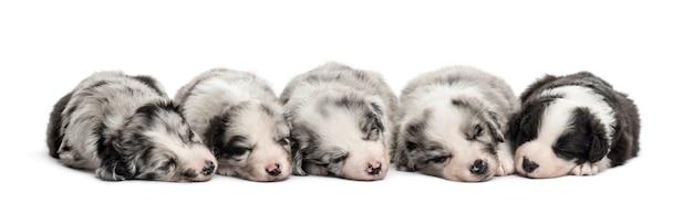 Groupe de chiots croisés dormant dans une rangée isolated on white