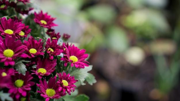 Groupe de chrysanthème rose