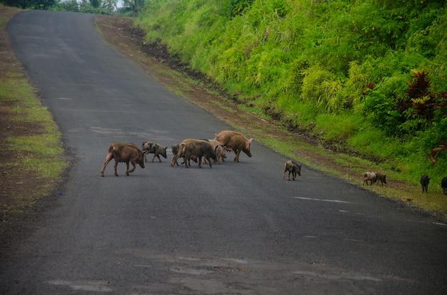 Groupe de cochons sauvages traversant la rue
