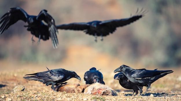 Groupe de corbeaux corvus corax s'asseoir sur une proie