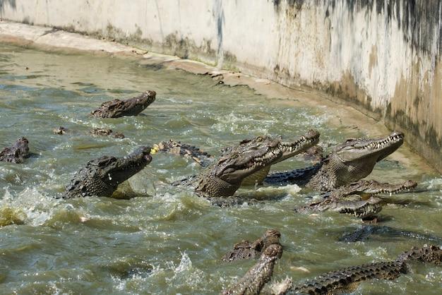 Groupe de crocodile mange un poulet dans l'étang