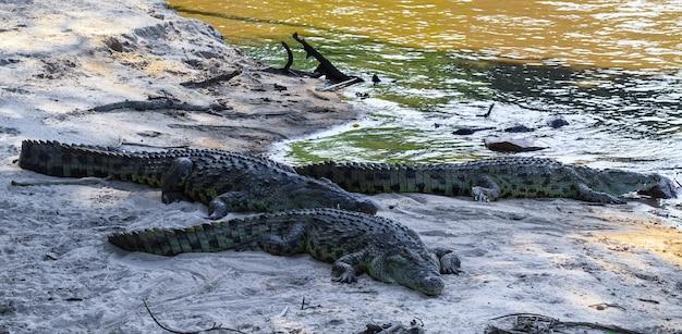 Un groupe de crocodiles sur les rives de la rivière grumeti. afrique