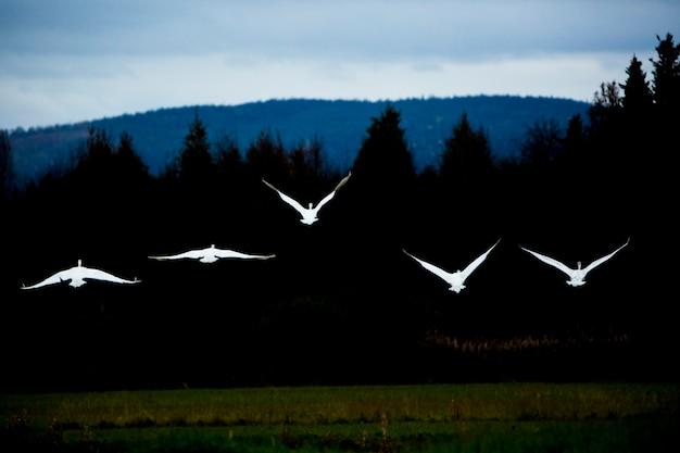 Groupe de cygnes chanteurs dans un lac en laponie, finlande