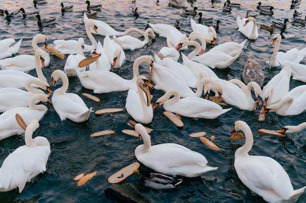 Groupe de cygnes dans la rivière en train de manger du pain