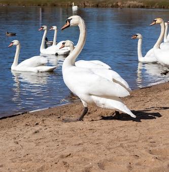 Groupe de cygnes près du lac