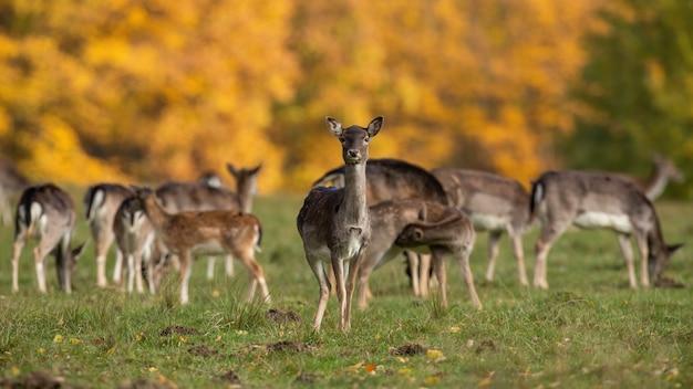 Groupe de daims debout sur terrain en automne nature